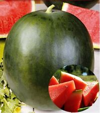 Watermelon Seeds SEEDLESS & EXTRA SWEET Spanish Sandia SOW NOW !!