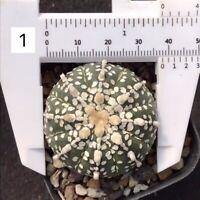 10 Turbinicarpus lausseri CACTUS RARE SEEDS SUCCULENT no ariocarpus aztekium