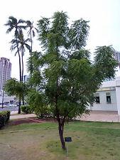 Niembaum Neembaum 10 Samen Azadirachta Indica  Heilpflanze
