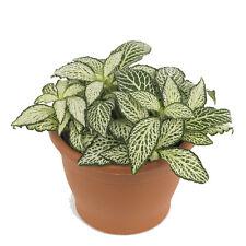 "6 x 5 cm Pots of Fittonia verschaffeltii ""White"""