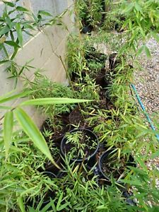 Fargesia Clumping Bamboo plant Random Sizes/Species Clumping approx 1-3ft tall