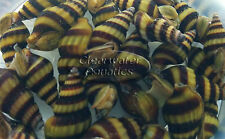 5 X Assassin Snail Live Snail Eater Clea Helena Fish Tank Aquarium