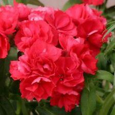 Phlox Seeds Promise Scarlet 50 Double Flower Phlox flower seeds Phlox drummon