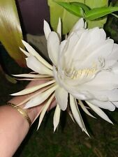 2 Epiphyllum Oxypetalum Queen of the Night Orchid Cactus White Fragrant Flowers