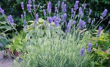 LAVENDER PLATINUM BLONDE variegated 5 PLUG PLANTS