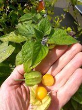 Aunt Molly's Golden Orb Ground Cherry