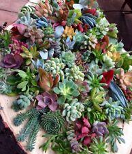 Succulent Plant Cuttings x10