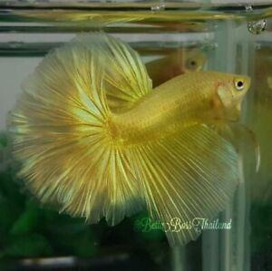 (24k!) Premium Live Betta Fish l Male Halfmoon Super Gold Plakat