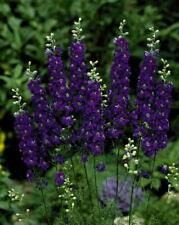 50 Sydney Purple Delphinium Seeds Perennial Flowers Flower Seed 118 Us Seller