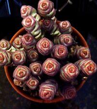 "CRASSULA MARIERIANA, 'BABY JADE NECKLACE', 'WORM PLANT' 3/4"" POT"