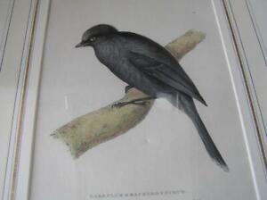 1829 Orig hand colored Stone Lithograph Garrululs Brachyrhynchus Black Bird
