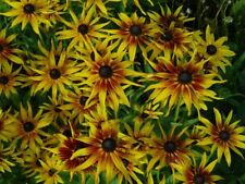 30+  RUDBECKIA HIRTA, SPUTNIK / BUSHY PERENNIAL / EASY TO GROW FLOWER SEEDS