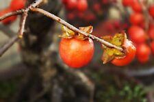 20 Seeds Date Plum Seeds , Diospyros lotus Seeds