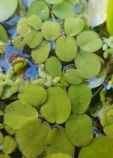 6X Salvinia Natans/ LIVE Floating Plants/Aquarium/ Ponds