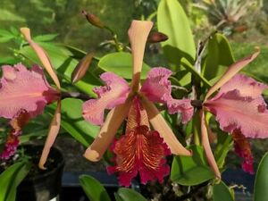 RARER OFFER ORCHID HYBRID C. dowiana rosita x C. Mareeba Tiger 'Dark' 2 in pot!!