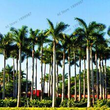 Bonsai Seeds Cuban Royal Palm Exotic Plant Garden Balconypot Tropical Ornamental