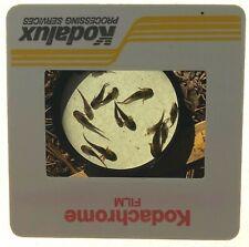 Tiger Salamander Larvae 35mm Slide 1993 Ambystome Tigrinum Amphibian