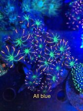 CC  FIRE CLOVE POLYP COLONY WYSIWYG, Live Coral, Solf Coral Frag, Sps, Lps, # 60