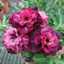 Desert Rose Adenium Obesum Bonsai Mixed Colors 10 Seeds Hot A3I4