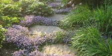 mazus reptans bleue plante couvre sol vivace bassin massif mur