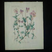 Violettes planche botanique aquarelle fleurs Pensées Viola gravure XIXème siècle