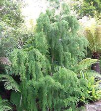 Lagarostrobos franklinii - Huon Pine - 5 seeds
