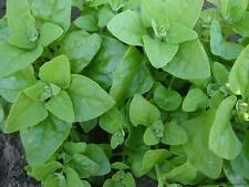 Spinach seeds New Zealand dietary Vegetable Plant Heirloom Seeds