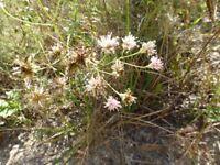 Coastalplain Palafox (Palafoxia integrifolia) ✤ 50 Seeds