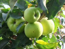 Howgate Wonder Apple Tree 4-5ft Ready to Fruit, Juicy & Sweet,Cook & Eat