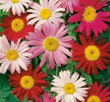 PAINTED DAISY FLOWER SEEDS 200+ PERENNIAL bees BUTTERFLY garden FREE SHIPPING