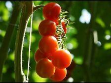 25 Graines de Tomate Cerise Rouge - légume jardin potager - méthode BIO