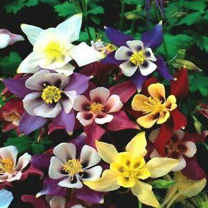 10 x Plug Plants Aquilegia McKana Giant Hybrids Hardy Clump Forming Perennial