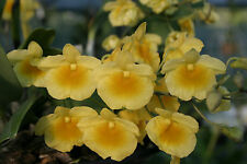 Orchid Plant - Dendrobium - Den. lindleyii - species  - Gorgeous Yellow!