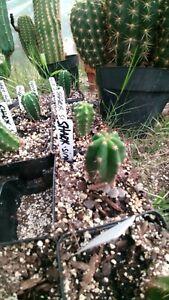 Echinopsis cactus Sharxx blue x Sina rooted plant Extremely RARE.