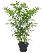 Goldfruchtpalme mediterrane Pflanze große exotische Zimmerpalme für die Wohnung