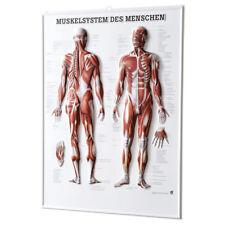 Muskelsystem Des Menschen Relieftafel Anatomie 74x54 Cm Medizinische Lehrmittel