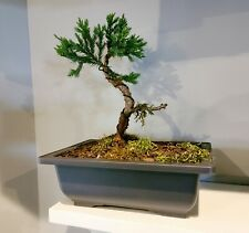 Bonsai tree live plant