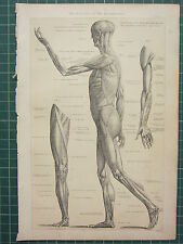 1890 PRINT ~ ANATOMY MUSCLES HUMAN BODY ~ ABDOMEN LEGS ARMS BICEPS