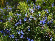 40 Samen Echter Rosmarin Rosmarinus Kräuter der Provence Rosmarinsamen