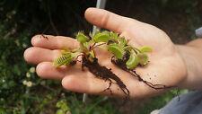 Dionaea wholesale pack 10x Venus flytrap semiadult plant