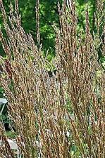 Ornamental Grass Seed - Calamagrostis Stricta  Seeds