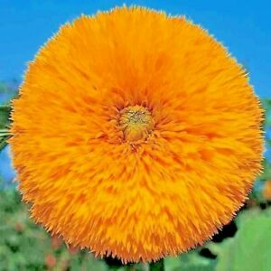 125 SEEDS TEDDY BEAR DWARF SUNFLOWER AUTUMN TINY CUTE NON-GMO FLOWER BEES USA