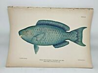 Original Antique Litho Fishes Puerto Rico Bien 1899 Plate 32 Blue Parrot Fish