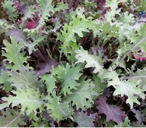 Kale (Borcole) 'Red Russian '- Vegetable Plants (6 or12 plugs)