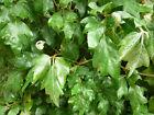 Kangaroo Vine/Native Grape Seed Indoor/Outdoor Plant Shade Tolerant Gentle Vine