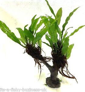 Java Fern Microsorum Pteropus Jungle Tree Plant Moss co2 Marimo #1