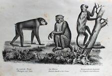 Rhesusaffe Rhesus Macaque Olive Colobus Monkey Stummelaffe Schwanz Tail Afrika