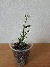 Rare hoya engleriana , actively growing