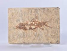 More details for knightia fossil fish from green river formation wyoming - usa - eocene period