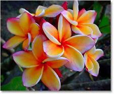 """Fresh!Plumeria/Plants/Flowers/""""Beautiful_Orange""""/ 20 seeds"""